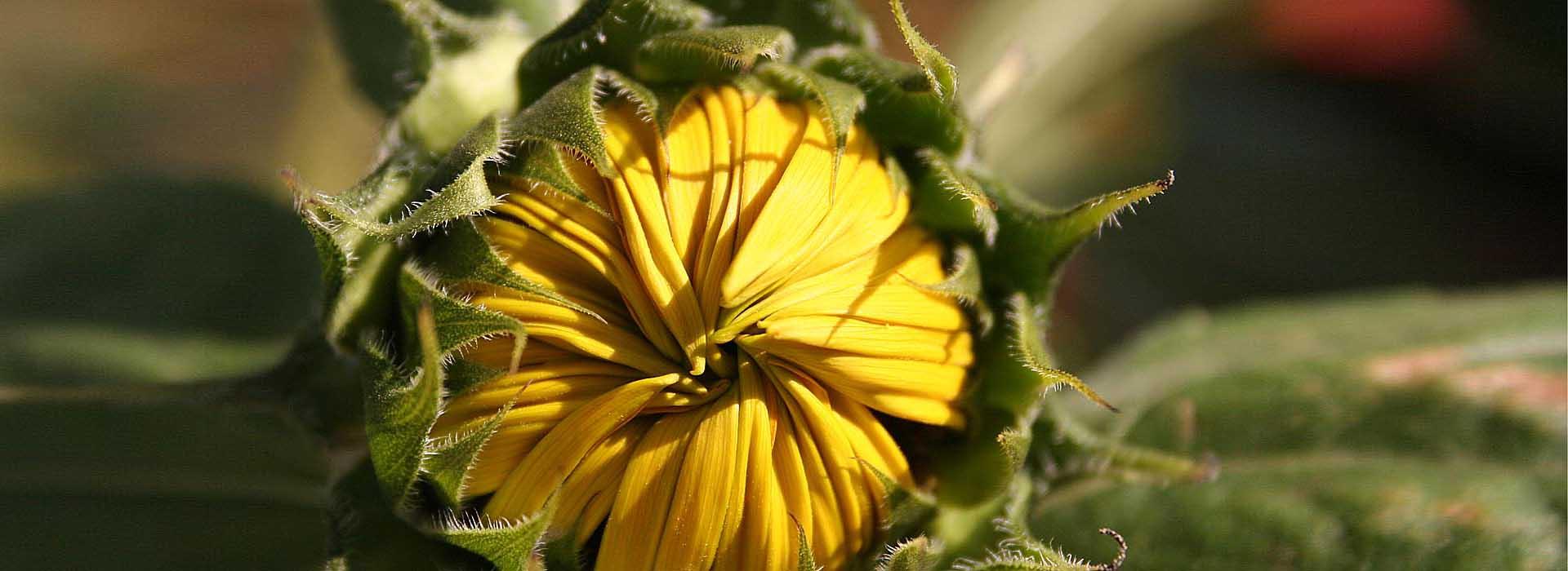 SonnenblumeB