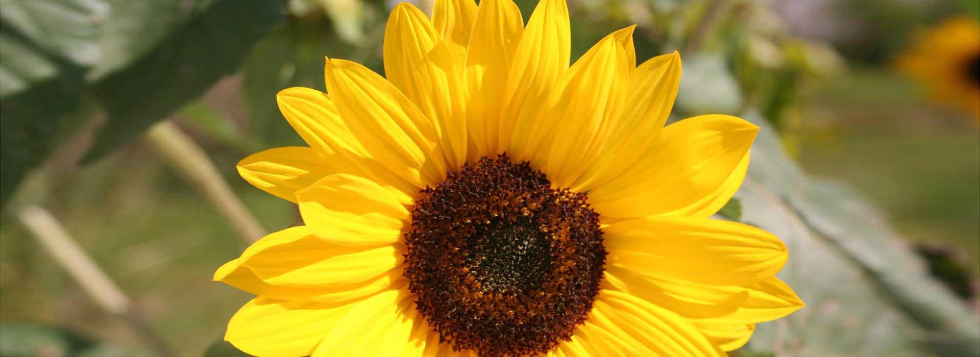 SonnenblumeC